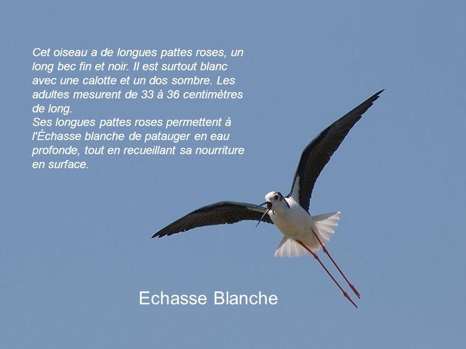 Cet oiseau a de longues pattes roses, un long bec fin et noir