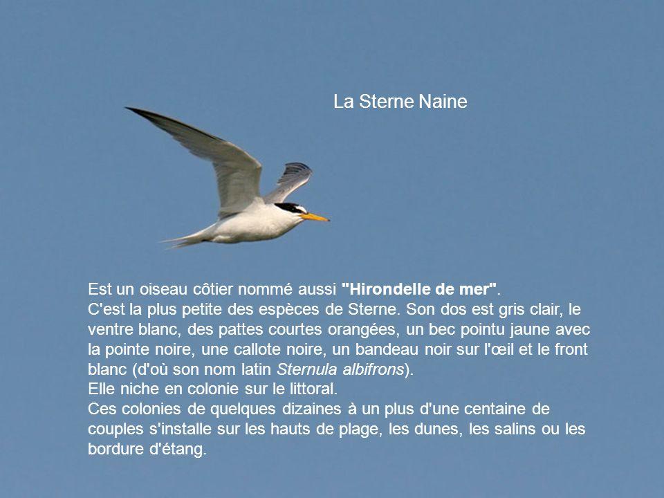 La Sterne Naine Est un oiseau côtier nommé aussi Hirondelle de mer .