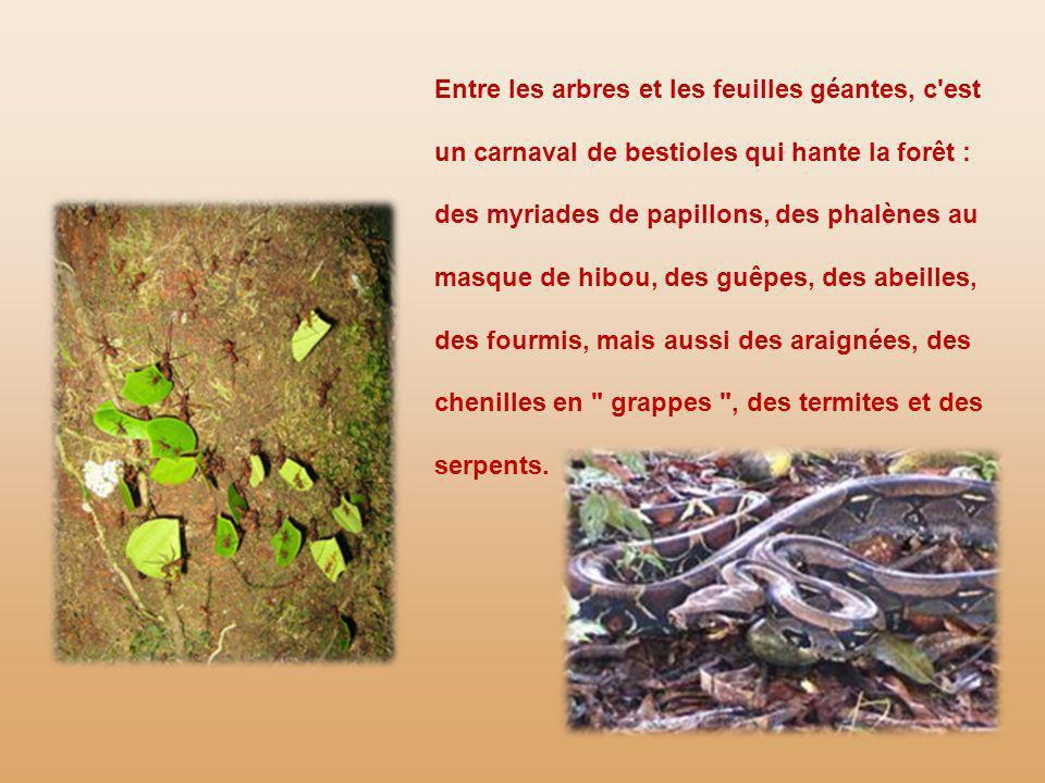 Entre les arbres et les feuilles géantes, c est un carnaval de bestioles qui hante la forêt : des myriades de papillons, des phalènes au masque de hibou, des guêpes, des abeilles, des fourmis, mais aussi des araignées, des chenilles en grappes , des termites et des serpents.