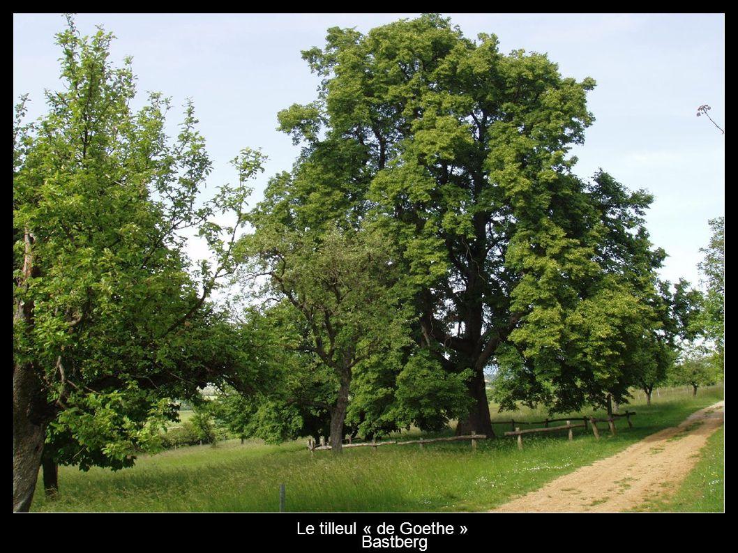 Le tilleul « de Goethe » Bastberg