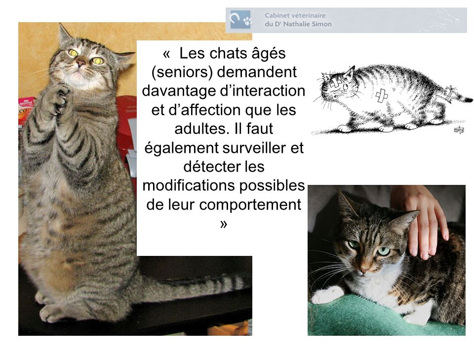 « Les chats âgés (seniors) demandent davantage d'interaction et d'affection que les adultes.