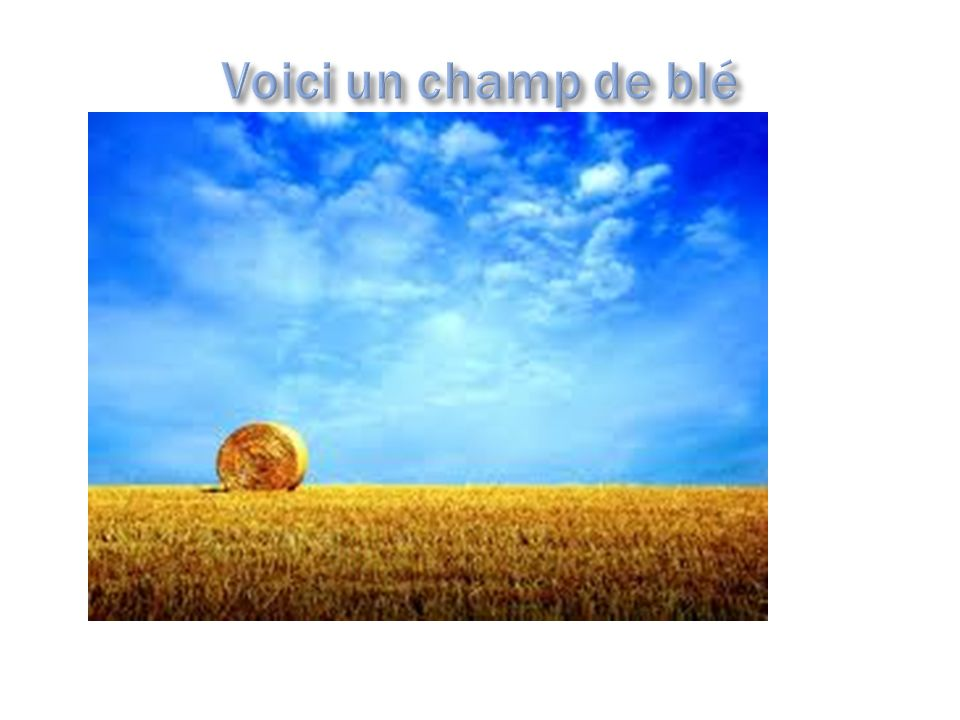 Voici un champ de blé