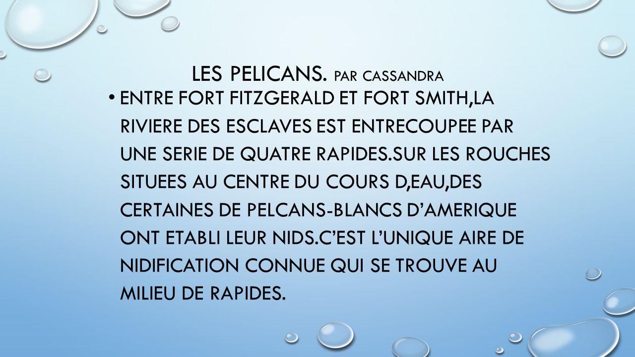 LES PELICANS. Par Cassandra