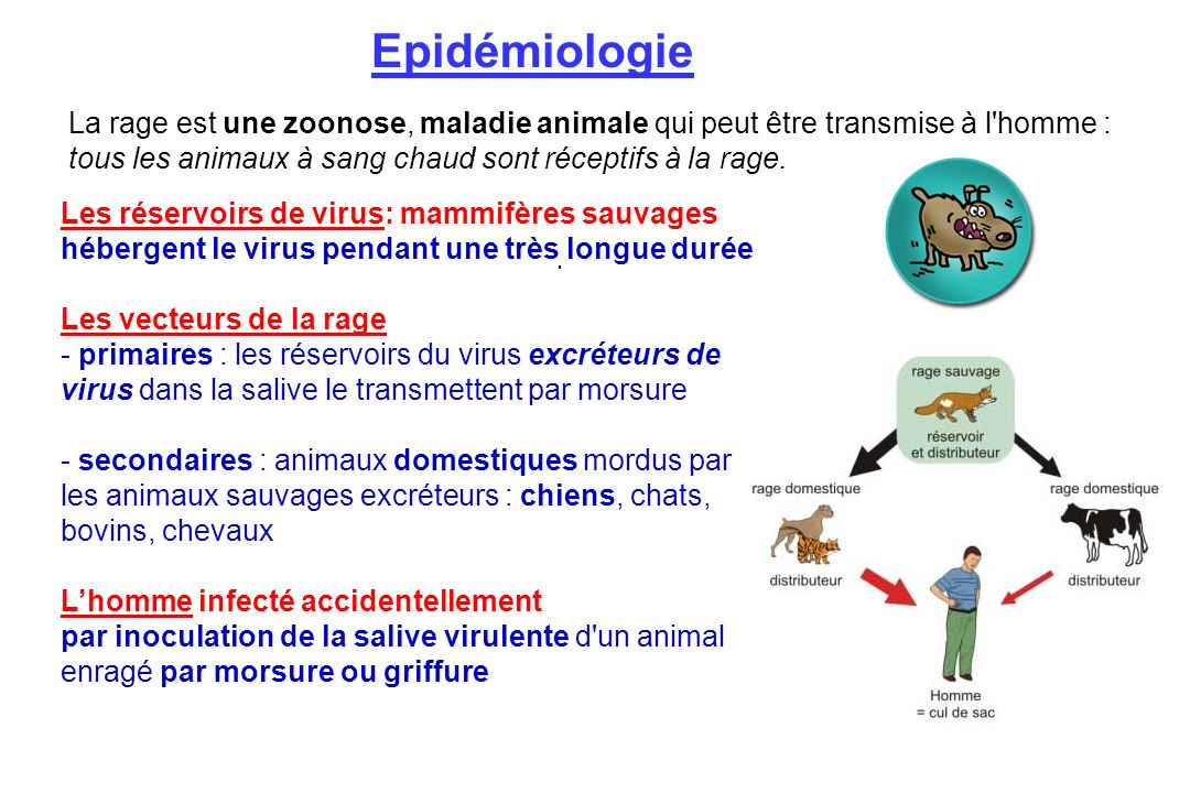 Epidémiologie La rage est une zoonose, maladie animale qui peut être transmise à l homme : tous les animaux à sang chaud sont réceptifs à la rage.