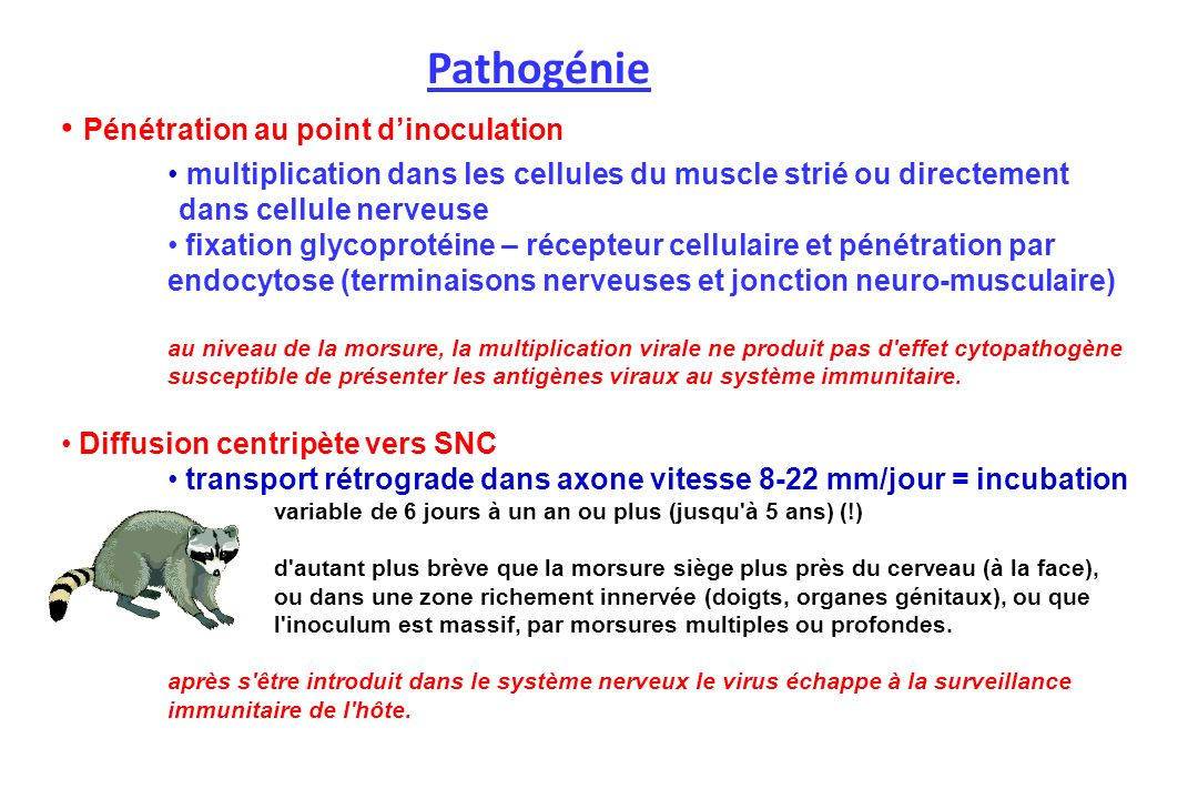 Pathogénie Pénétration au point d'inoculation