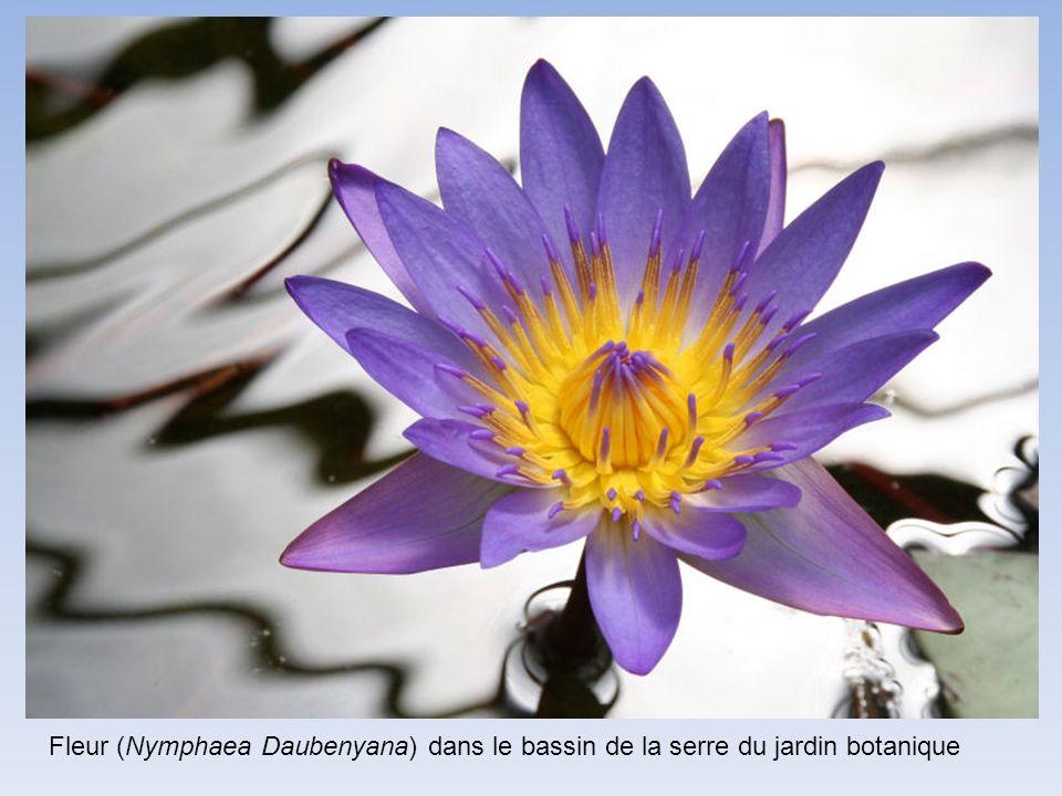 Fleur (Nymphaea Daubenyana) dans le bassin de la serre du jardin botanique