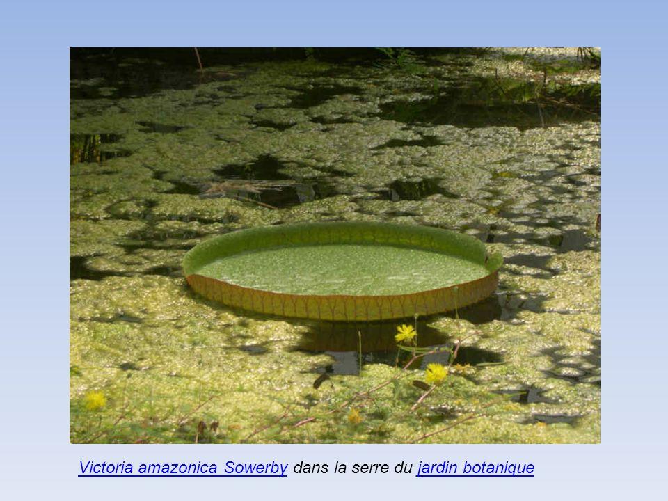 Victoria amazonica Sowerby dans la serre du jardin botanique