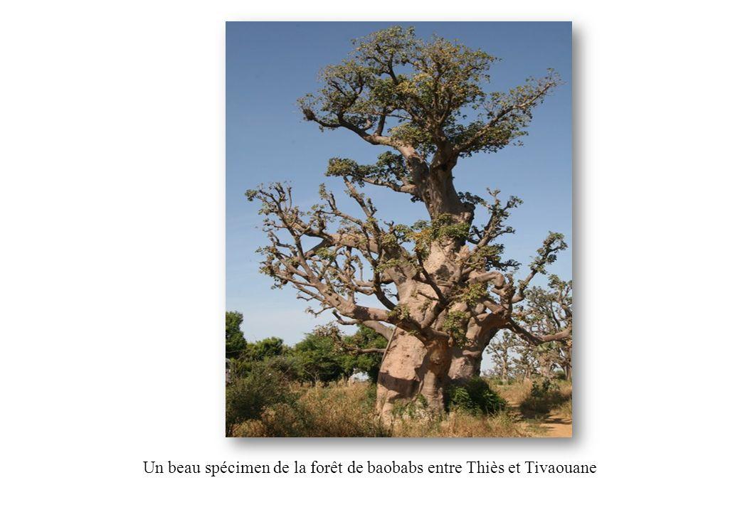 Un beau spécimen de la forêt de baobabs entre Thiès et Tivaouane