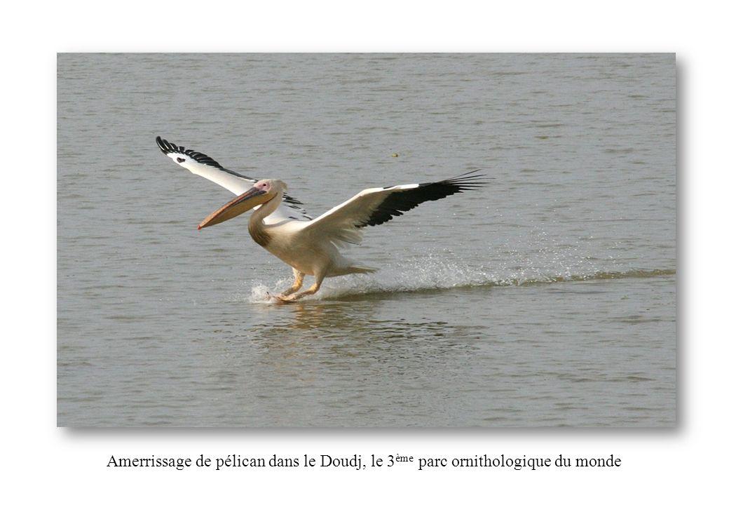 Amerrissage de pélican dans le Doudj, le 3ème parc ornithologique du monde