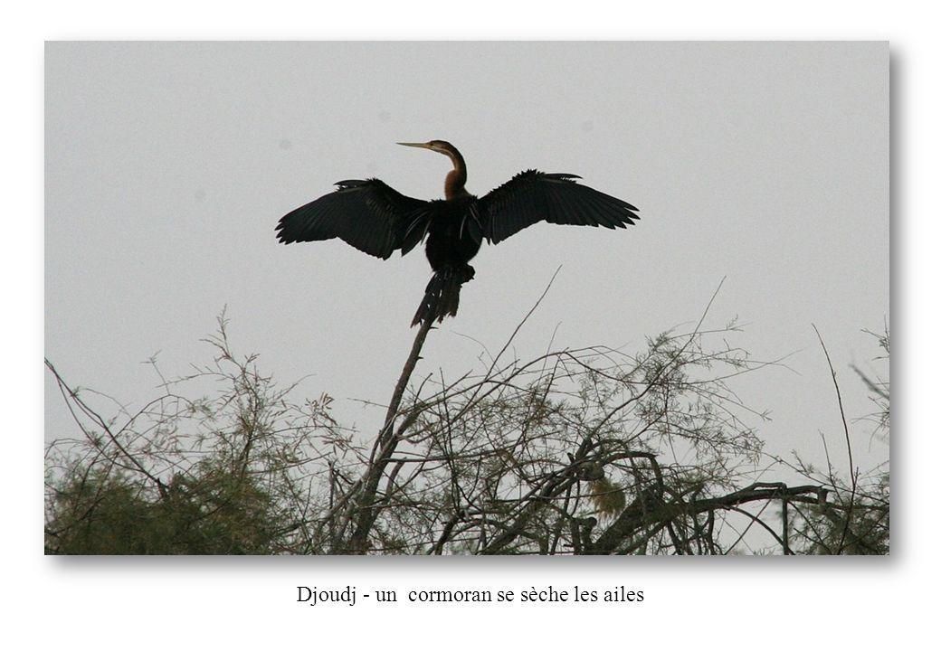 Djoudj - un cormoran se sèche les ailes