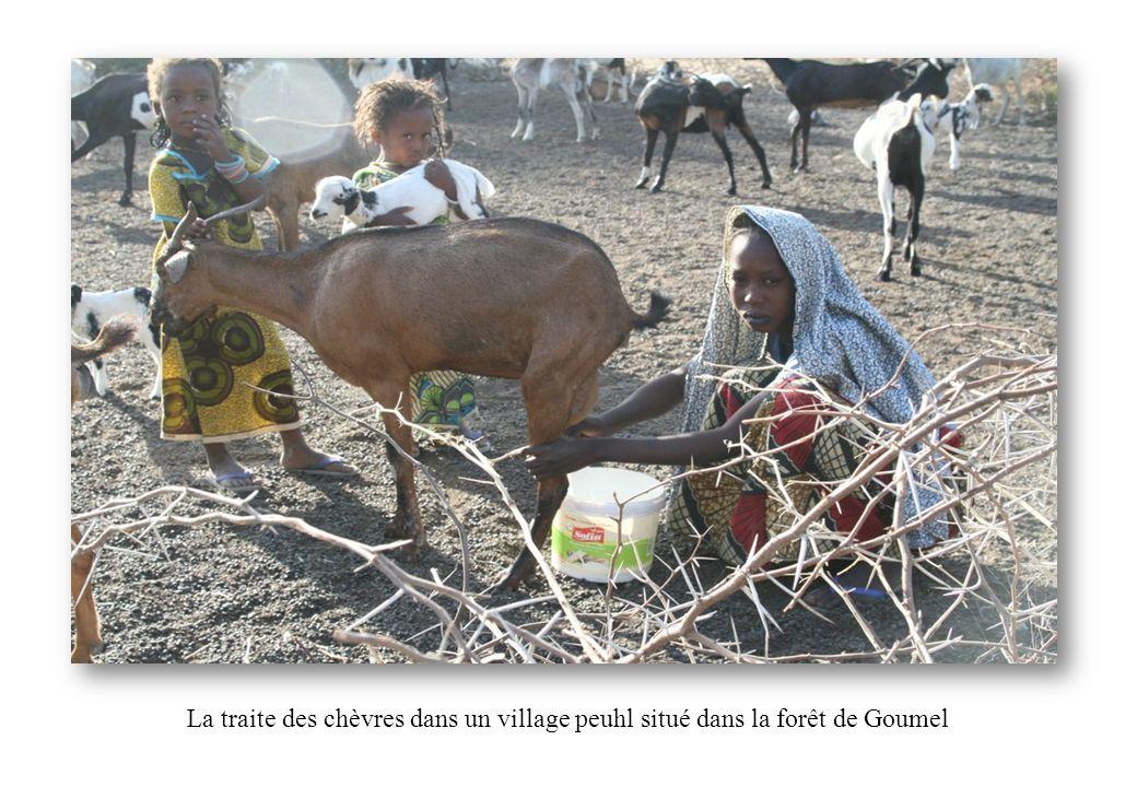 La traite des chèvres dans un village peuhl situé dans la forêt de Goumel
