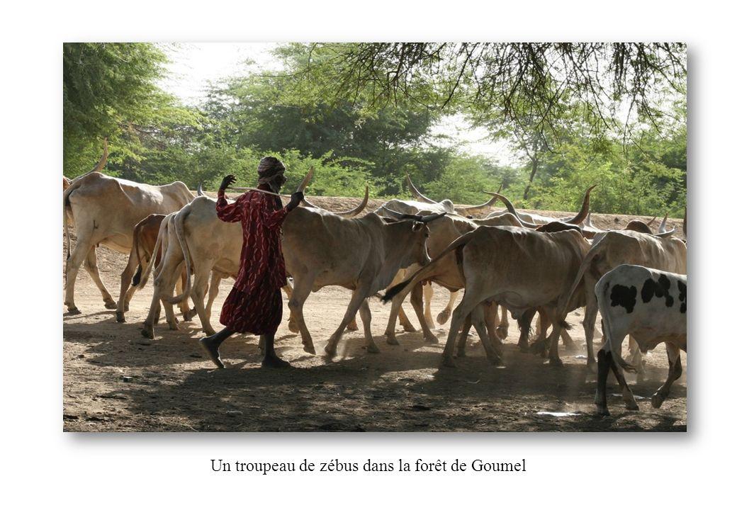 Un troupeau de zébus dans la forêt de Goumel