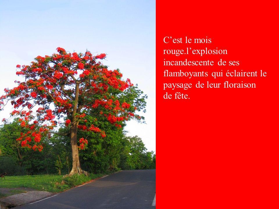C'est le mois rouge.l'explosion incandescente de ses flamboyants qui éclairent le paysage de leur floraison de fête.