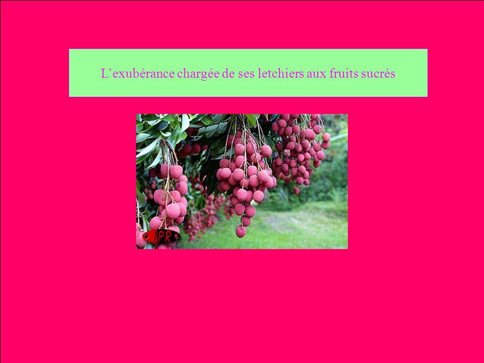 L'exubérance chargée de ses letchiers aux fruits sucrés