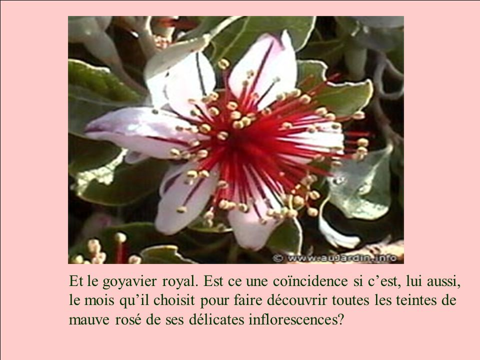 Et le goyavier royal.