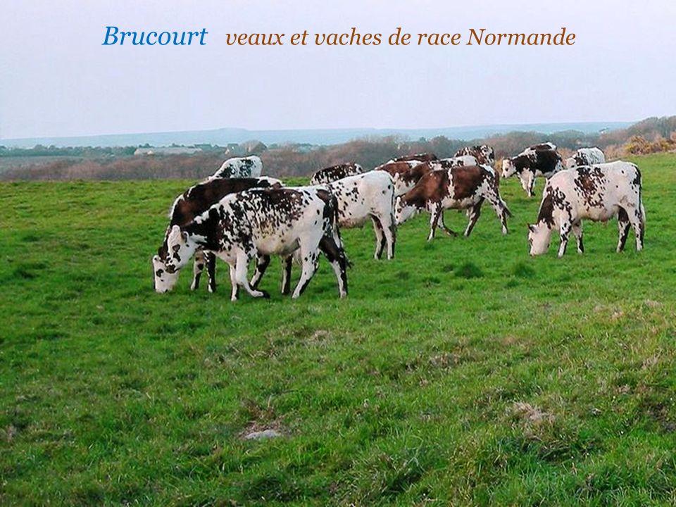 Brucourt veaux et vaches de race Normande