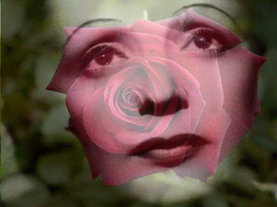 Rose « Edith Piaf »