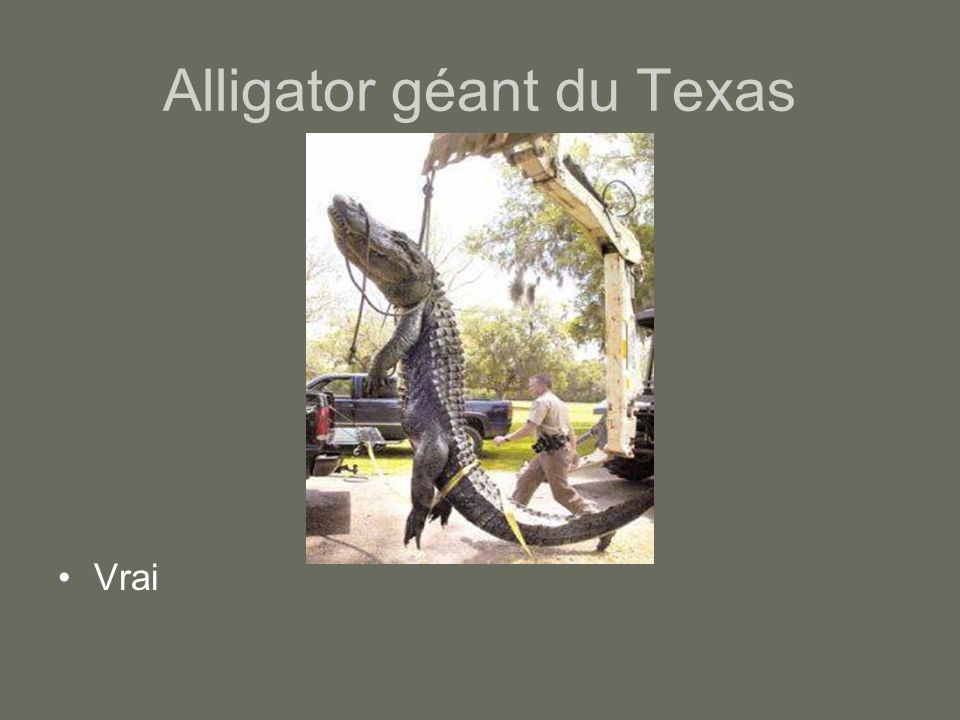 Alligator géant du Texas