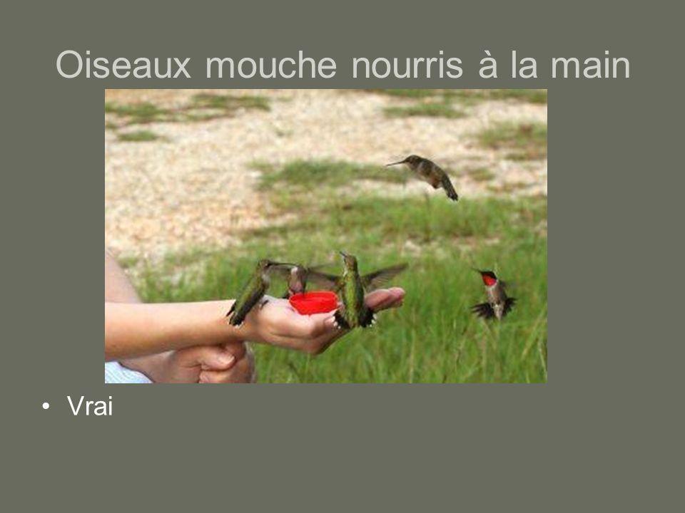 Oiseaux mouche nourris à la main