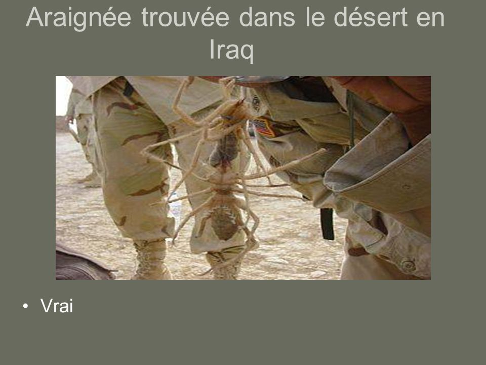 Araignée trouvée dans le désert en Iraq