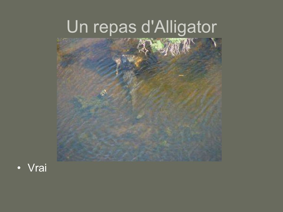 Un repas d Alligator Vrai