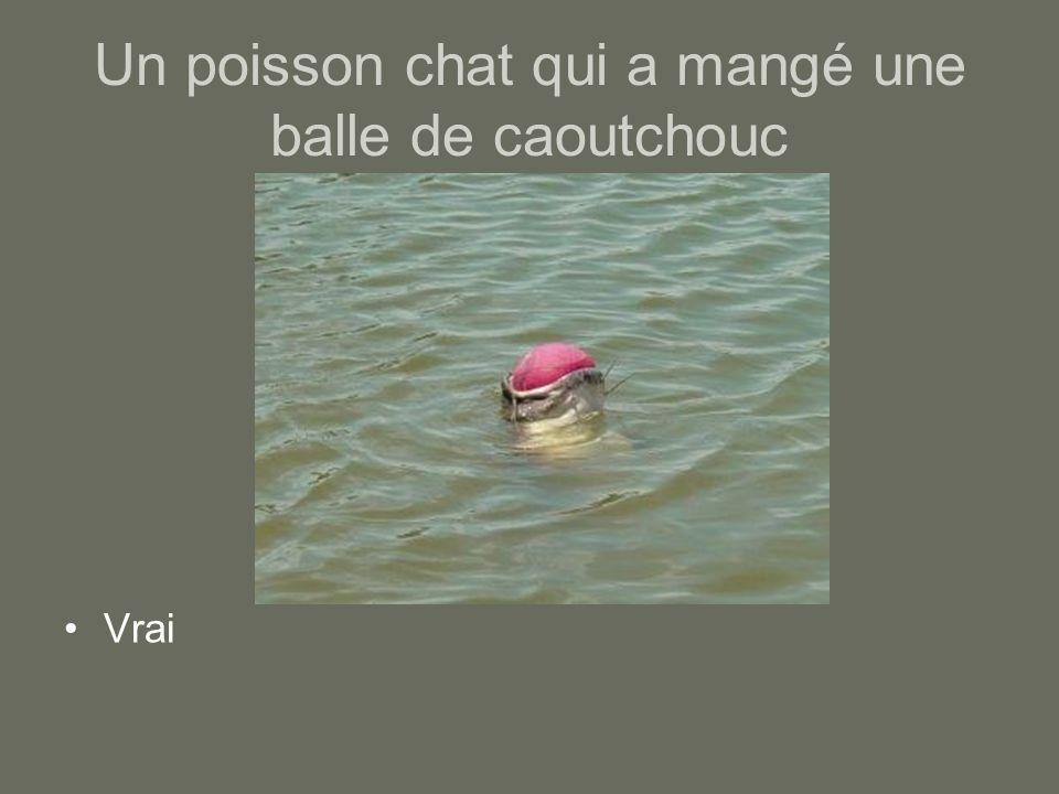 Un poisson chat qui a mangé une balle de caoutchouc