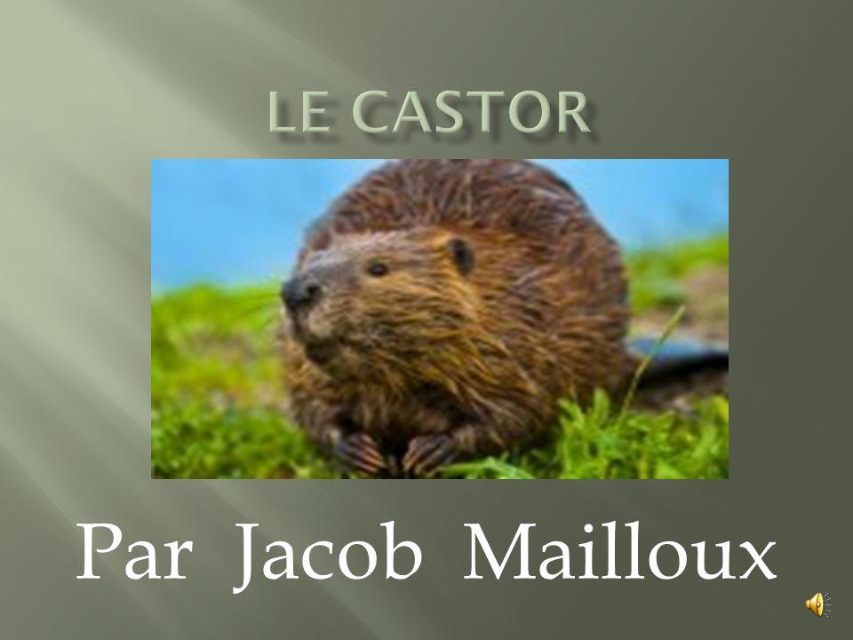 Le castor Par Jacob Mailloux