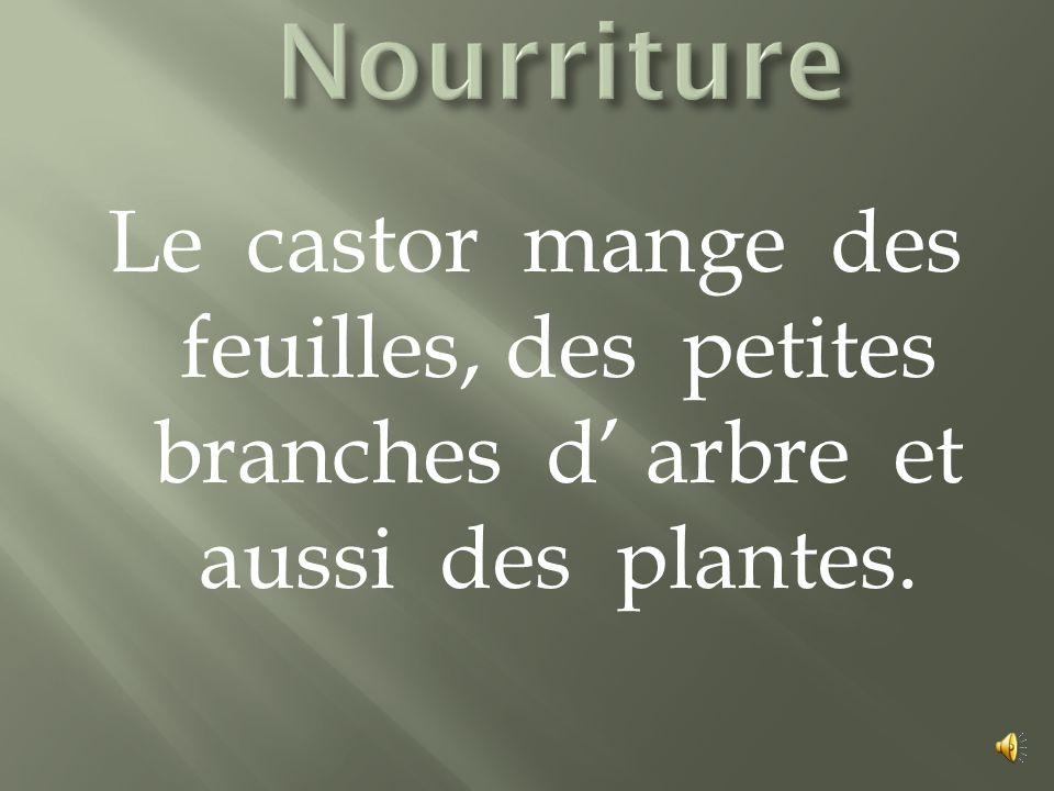 Nourriture Le castor mange des feuilles, des petites branches d' arbre et aussi des plantes.