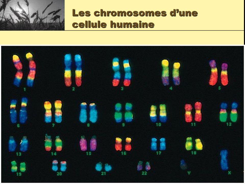 Les chromosomes d'une cellule humaine