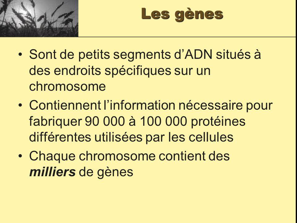 Les gènes Sont de petits segments d'ADN situés à des endroits spécifiques sur un chromosome.