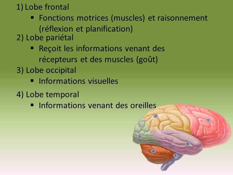 Lobe frontal Fonctions motrices (muscles) et raisonnement (réflexion et planification) 2) Lobe pariétal.