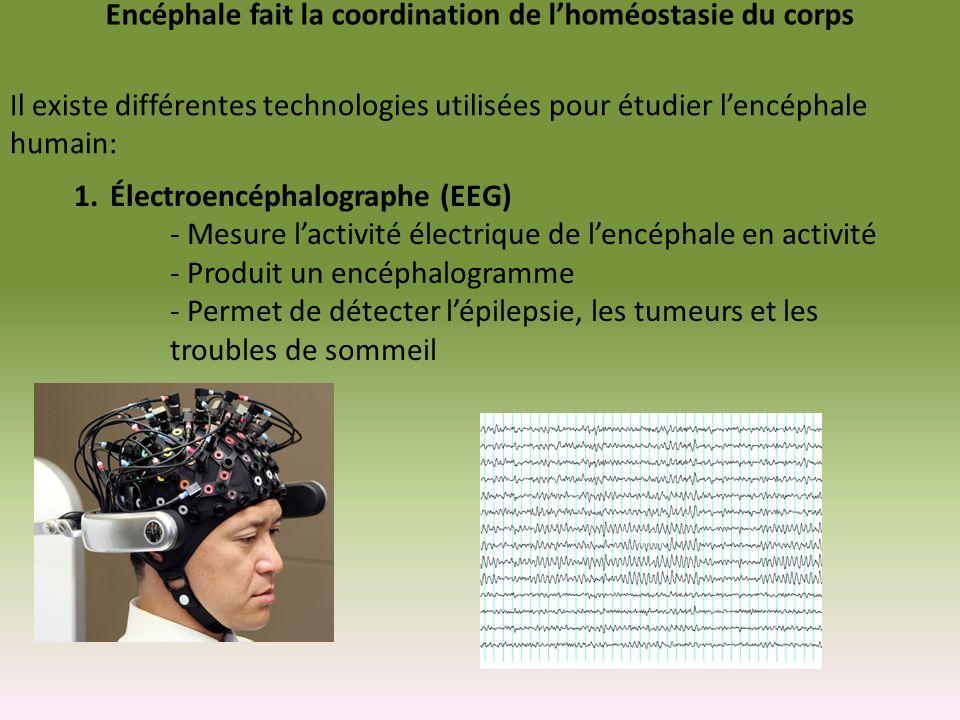 Encéphale fait la coordination de l'homéostasie du corps