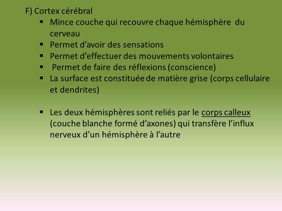 F) Cortex cérébral Mince couche qui recouvre chaque hémisphère du cerveau. Permet d'avoir des sensations.