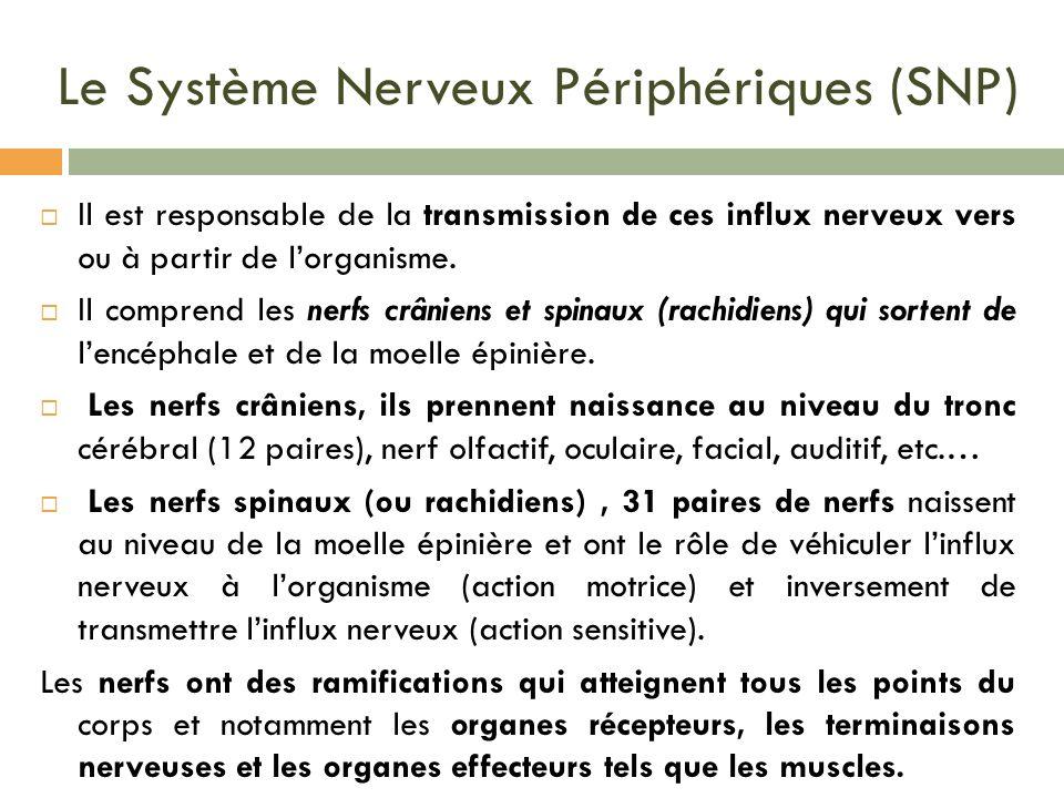Le Système Nerveux Périphériques (SNP)
