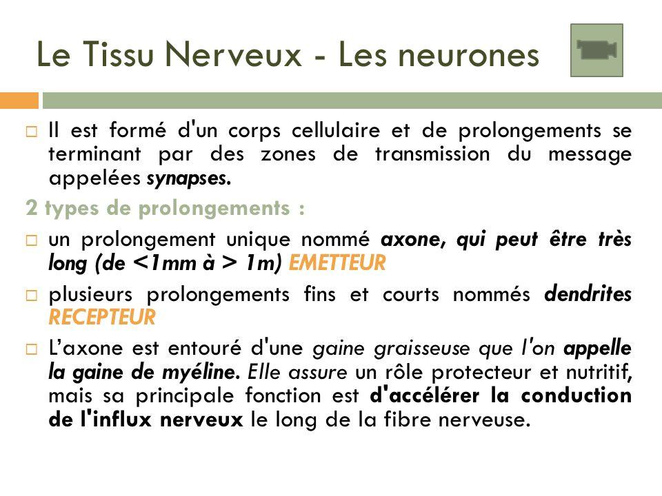 Le Tissu Nerveux - Les neurones