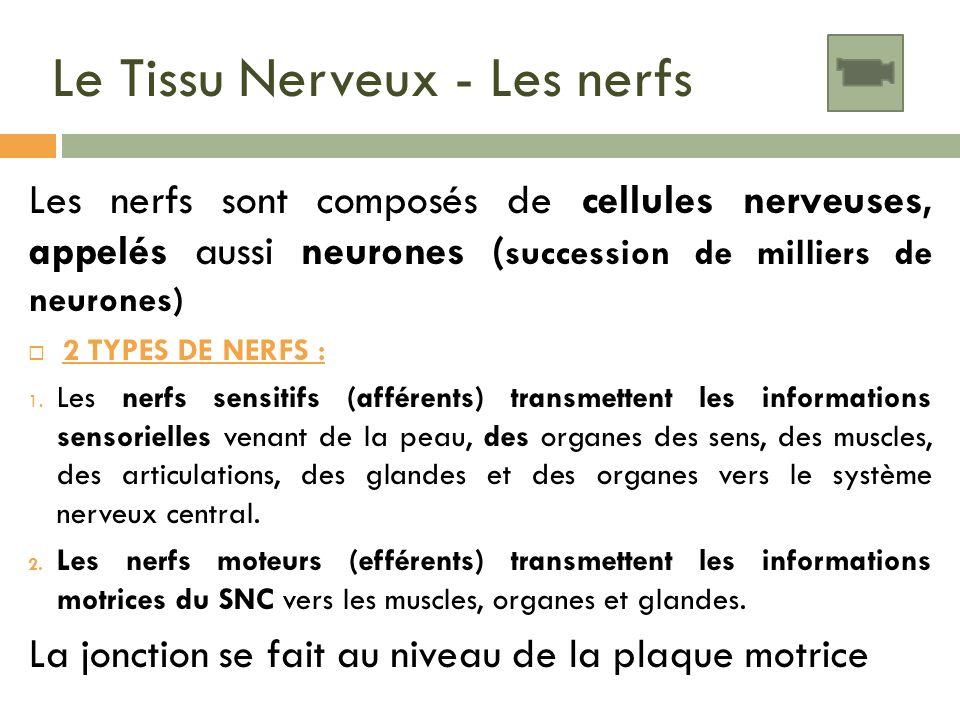 Le Tissu Nerveux - Les nerfs