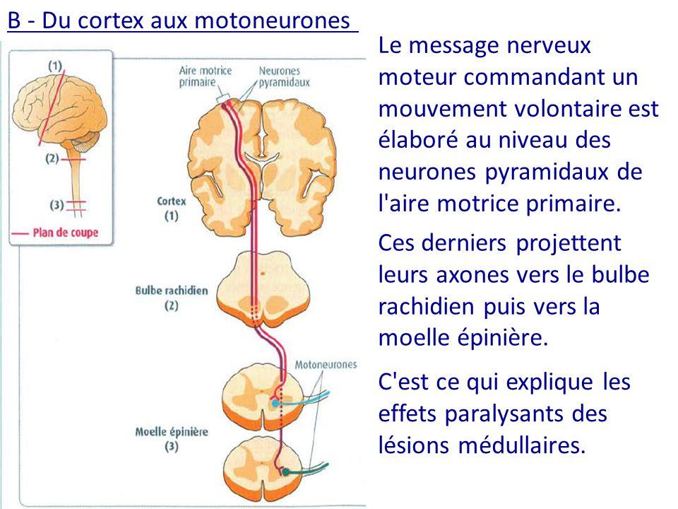 B - Du cortex aux motoneurones