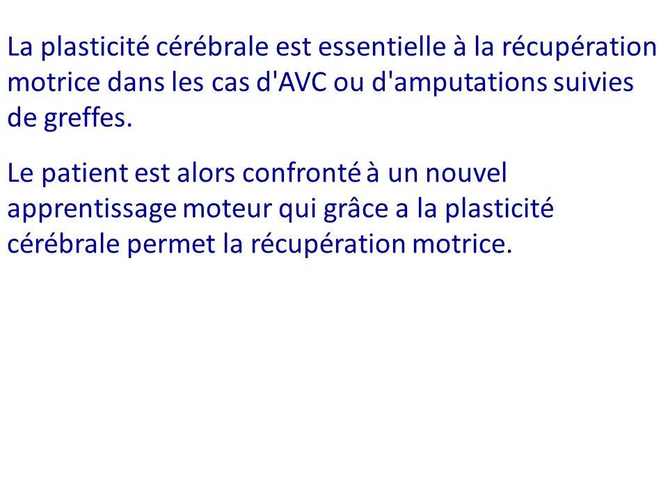 La plasticité cérébrale est essentielle à la récupération motrice dans les cas d AVC ou d amputations suivies de greffes.