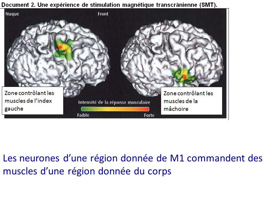 Les neurones d'une région donnée de M1 commandent des muscles d'une région donnée du corps