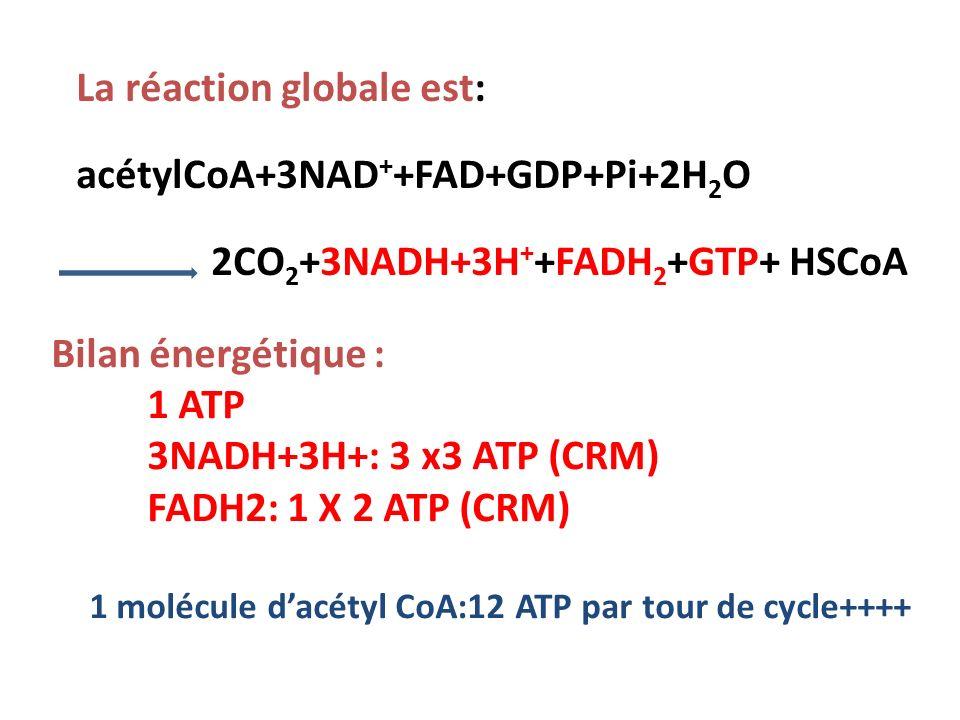 1 molécule d'acétyl CoA:12 ATP par tour de cycle++++