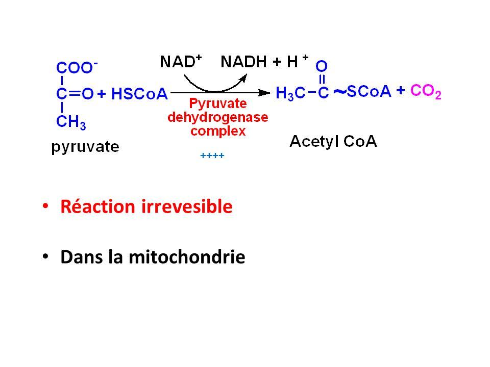 ++++ Réaction irrevesible Dans la mitochondrie
