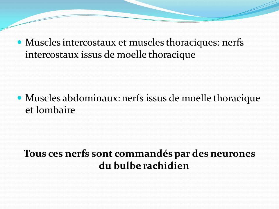 Tous ces nerfs sont commandés par des neurones du bulbe rachidien
