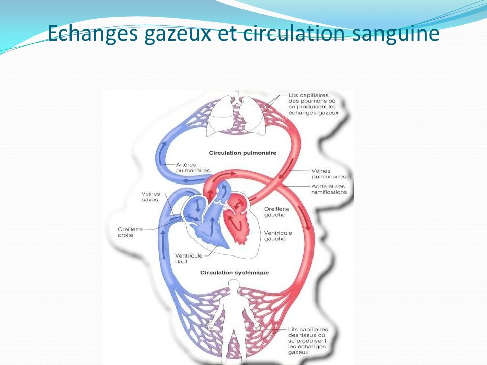 Echanges gazeux et circulation sanguine