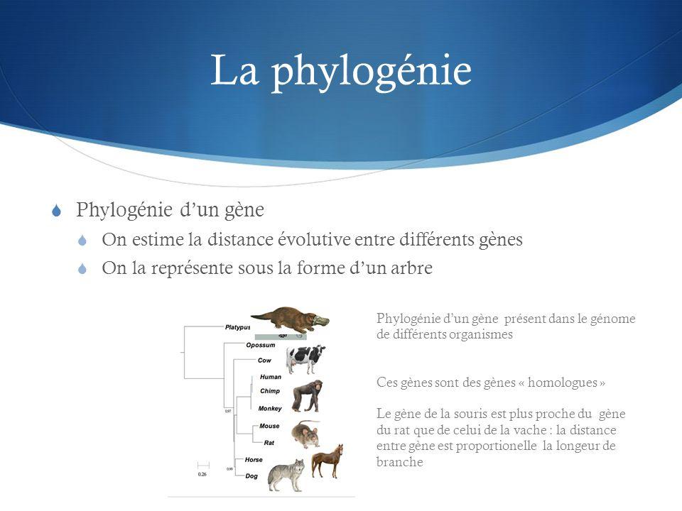 La phylogénie Phylogénie d'un gène