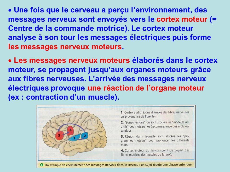 Une fois que le cerveau a perçu l'environnement, des messages nerveux sont envoyés vers le cortex moteur (= Centre de la commande motrice). Le cortex moteur analyse à son tour les messages électriques puis forme les messages nerveux moteurs.