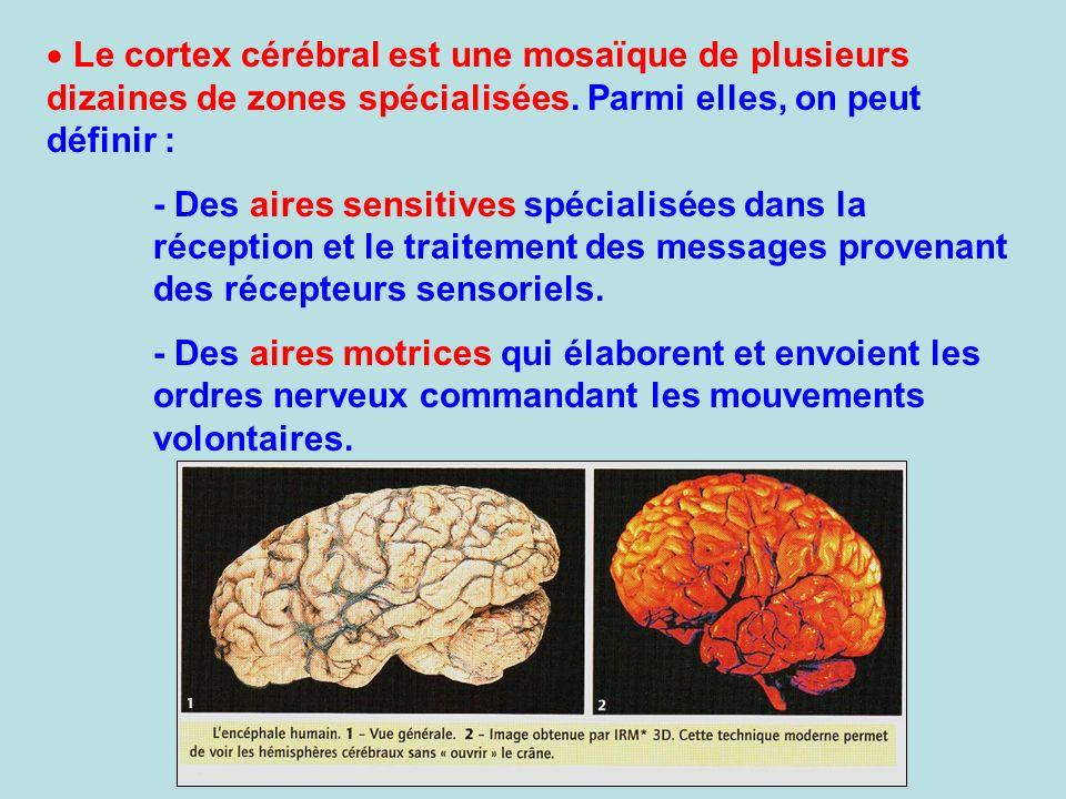 Le cortex cérébral est une mosaïque de plusieurs dizaines de zones spécialisées. Parmi elles, on peut définir :