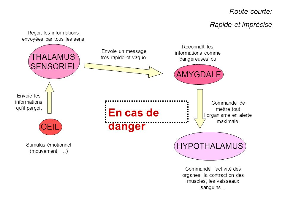 En cas de danger THALAMUS SENSORIEL AMYGDALE OEIL HYPOTHALAMUS