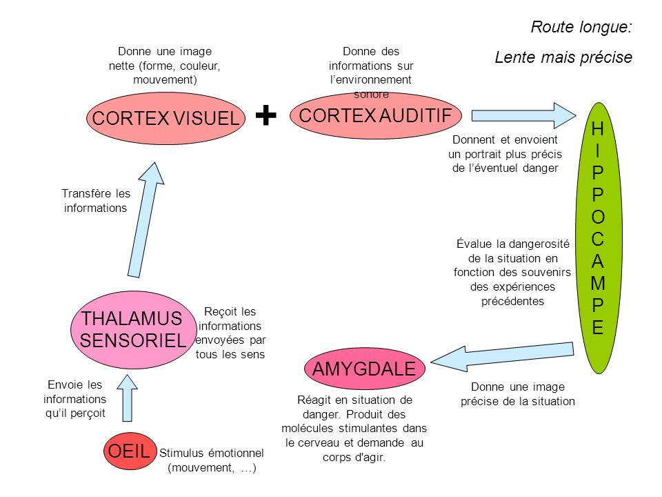 + CORTEX VISUEL CORTEX AUDITIF H I P O C A M E THALAMUS SENSORIEL
