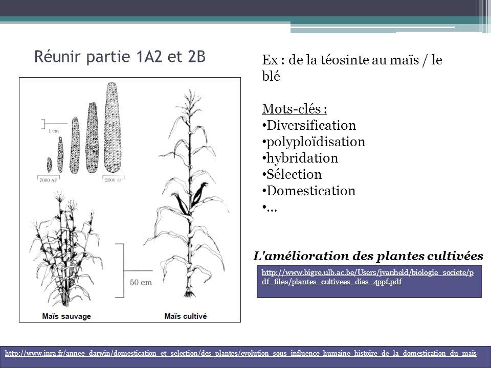 Réunir partie 1A2 et 2B Ex : de la téosinte au maïs / le blé