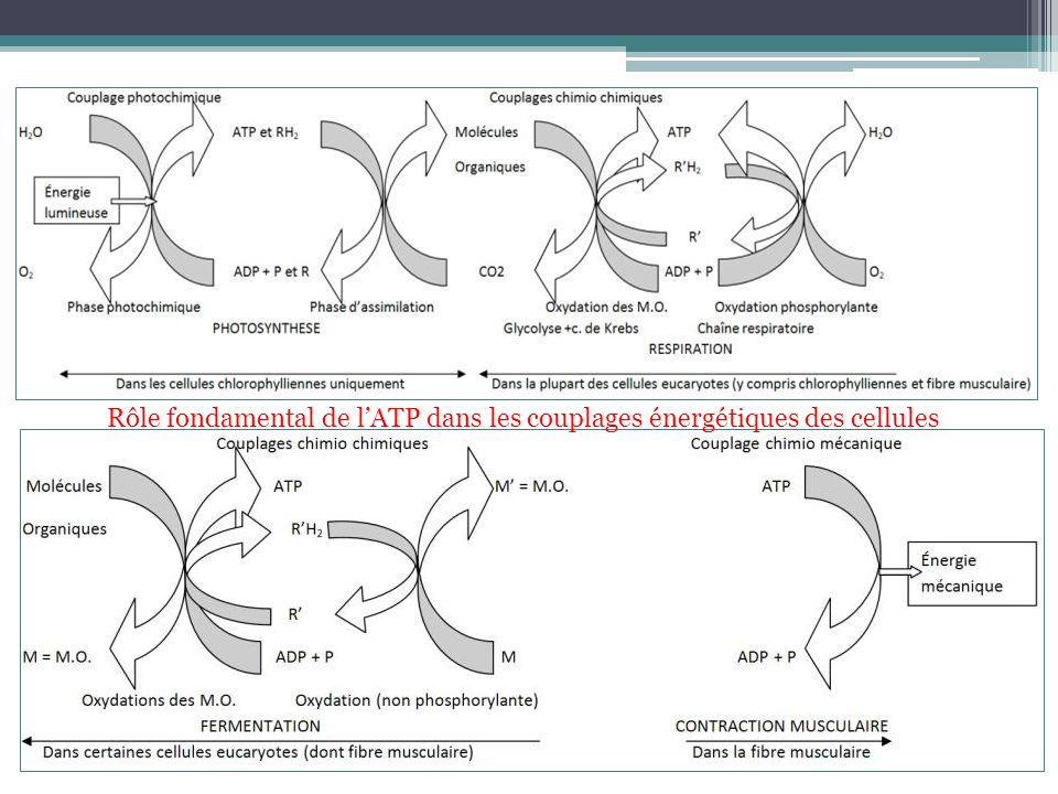 Rôle fondamental de l'ATP dans les couplages énergétiques des cellules